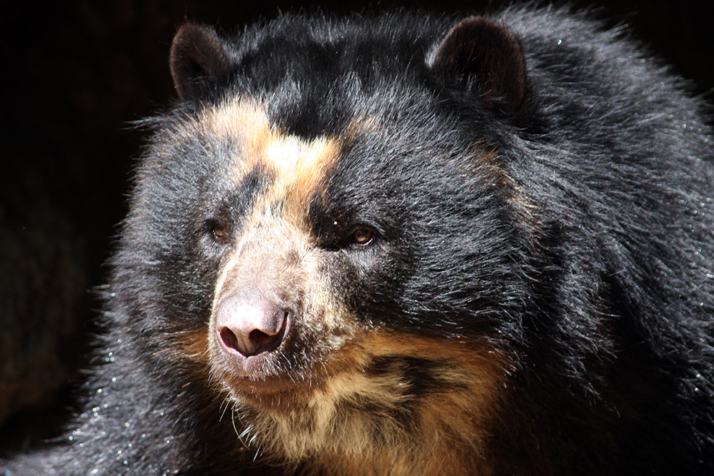 spectaculed bear