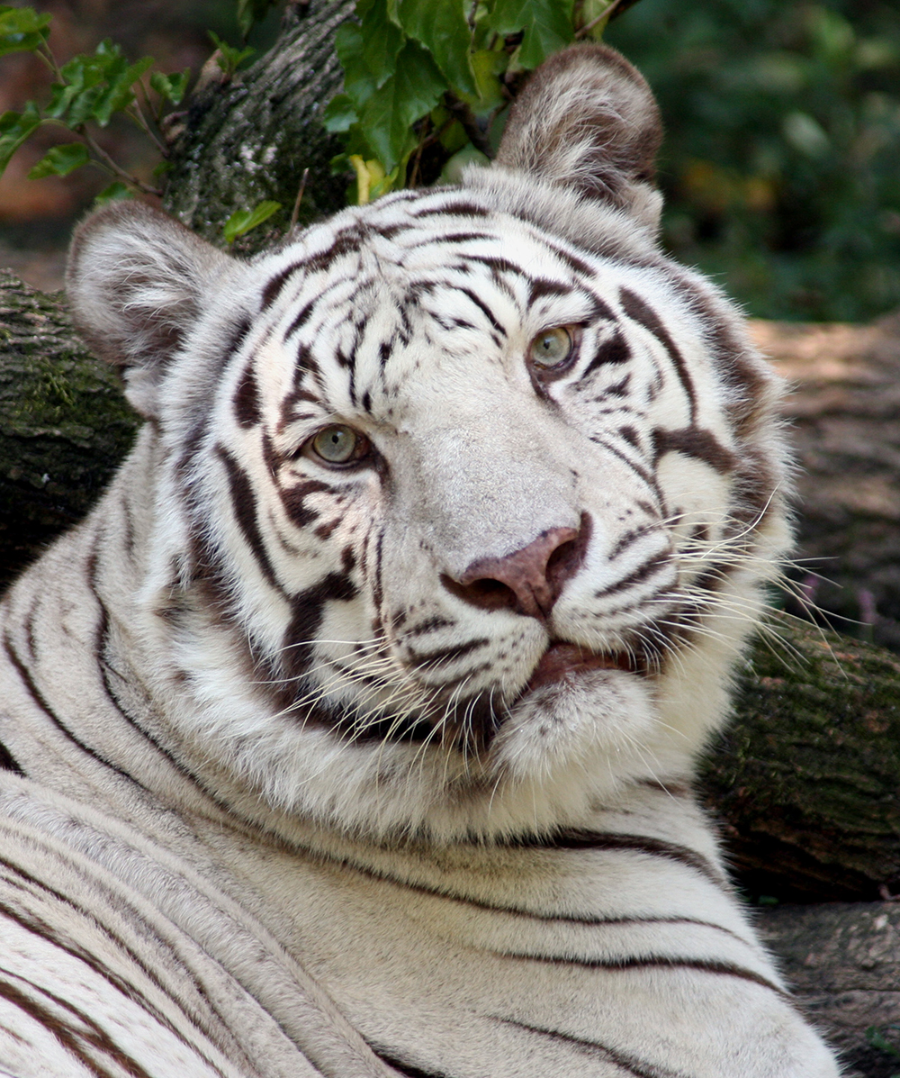 white tiger - the cincinnati zoo & botanical garden