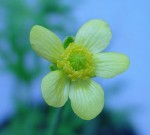Autumn Buttercup