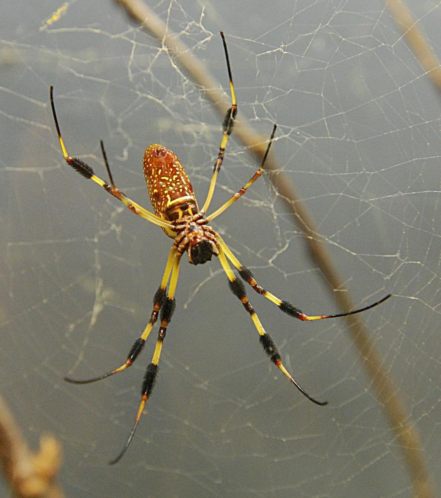 Florida Garden Spider Poisonous - Garden Ftempo