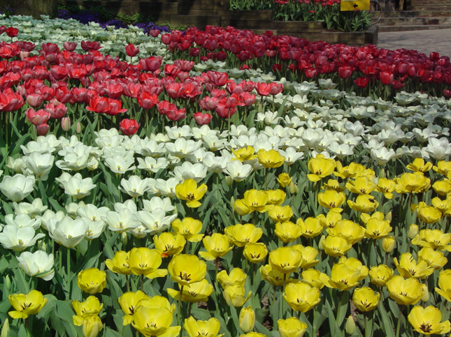 tulip display