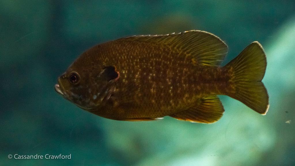 Redear Sunfish - The Cincinnati Zoo & Botanical Garden