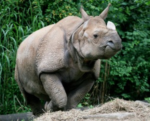 Indian Rhino Nikki