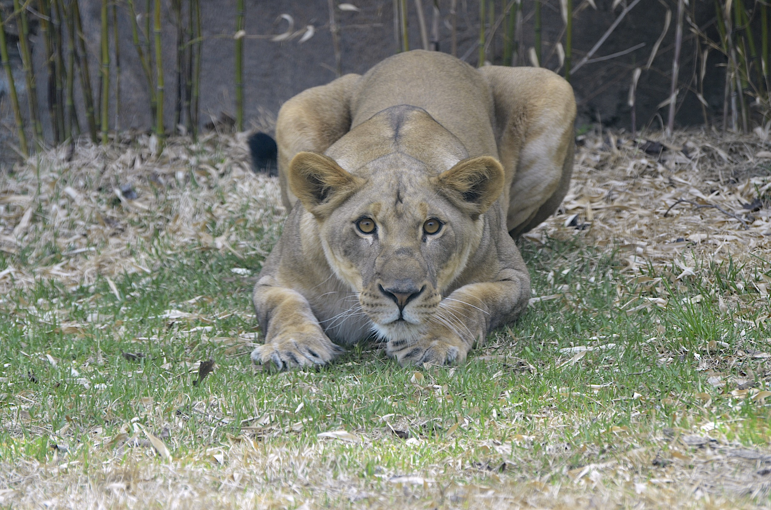 African Lioness Imani Turns Three Cincinnati Zoo Amp Botanical Garden