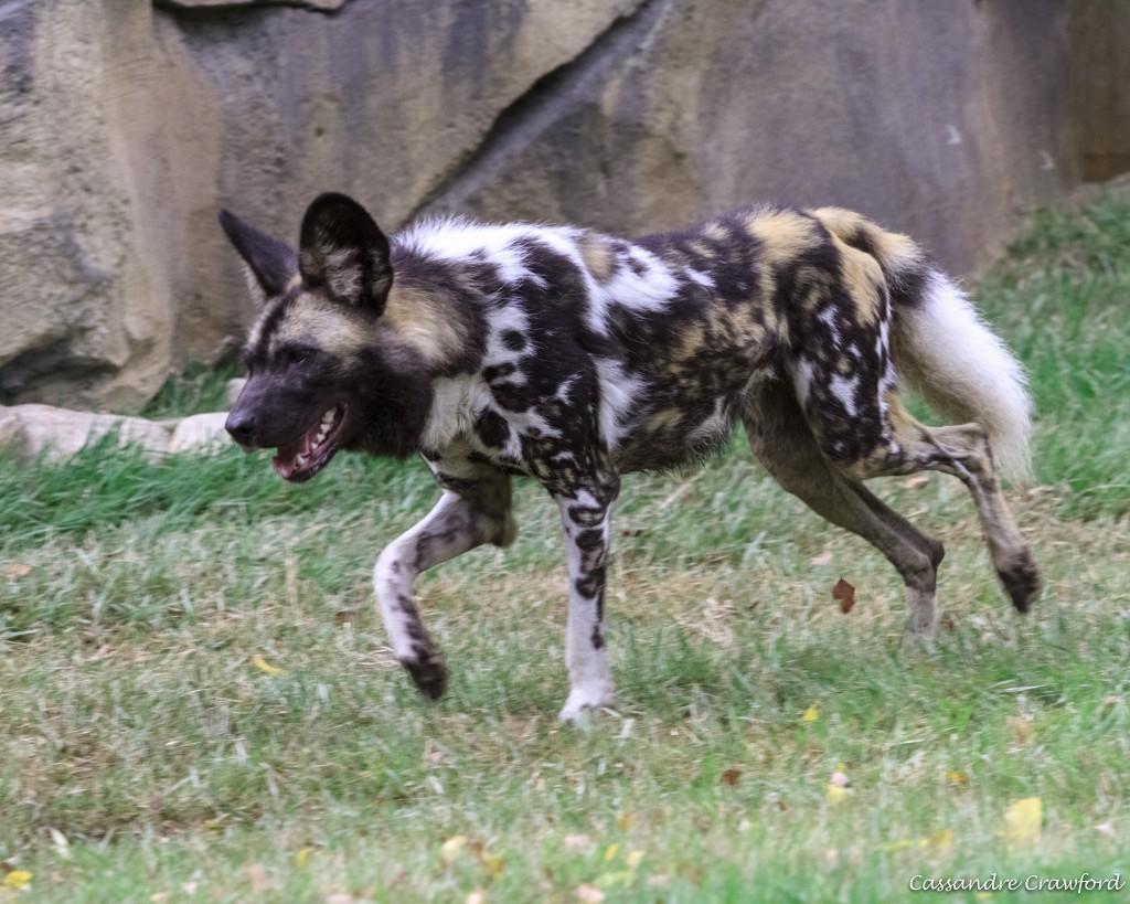 Female painted dog, Imara, runs around Painted Dog Valley