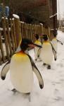 10 Penguin 0050 A