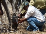 Ruaha Carnivore Project putting out a camera-trap
