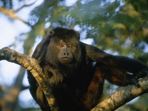 black-howler-monkey_467_600x450