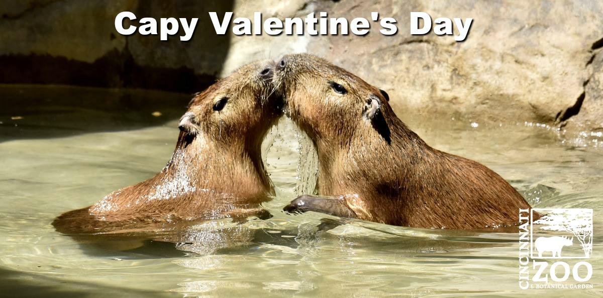 capy valentines day