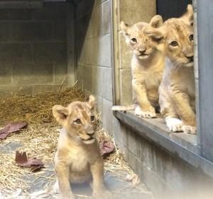 lioncubs-36