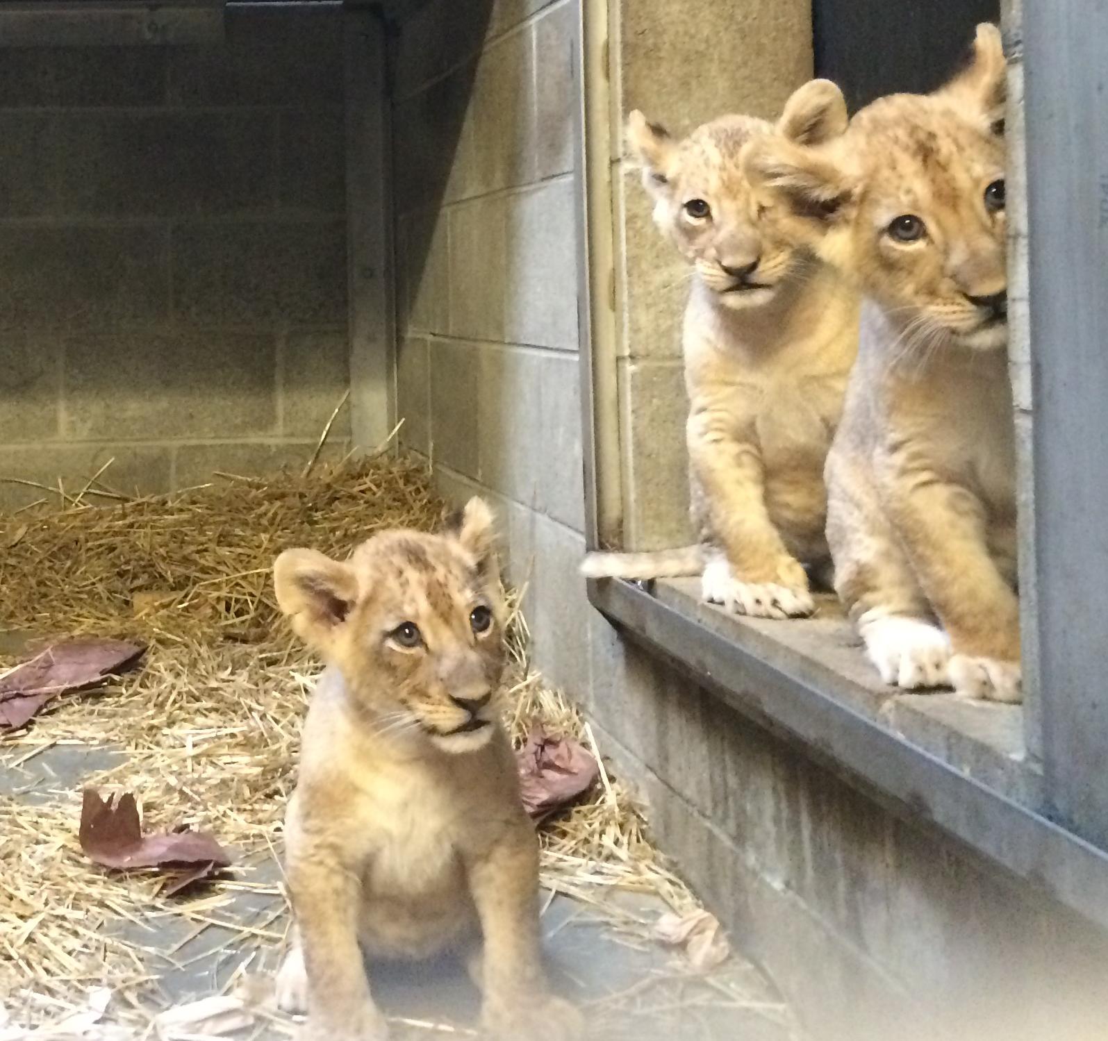 cincinnati zoo s three lion cubs have names cincinnati zoo