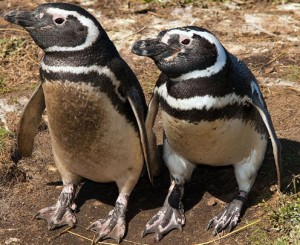 penguins_argentina