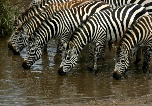 zebra_migration