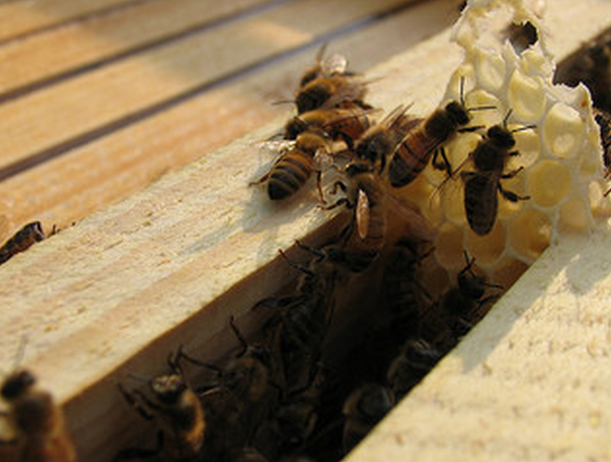 Honeybees in hive
