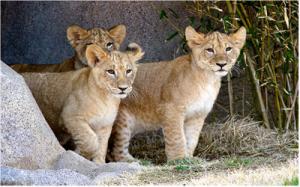 lioncubsoutside