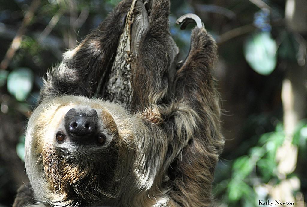 Saving Sloths In Costa Rica Cincinnati Zoo Amp Botanical