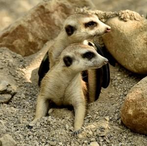 2015-05-11 Zoo Meerkats Mona Gladys Bonobos 1 370