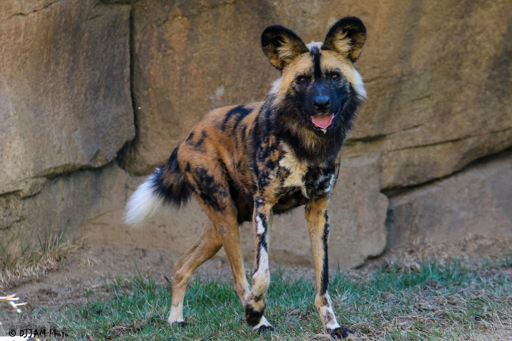 African Painted Dog Passes Away Cincinnati Zoo