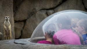 meerkat bubble