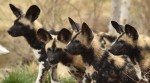2015-04-08 African Dog Pups 167