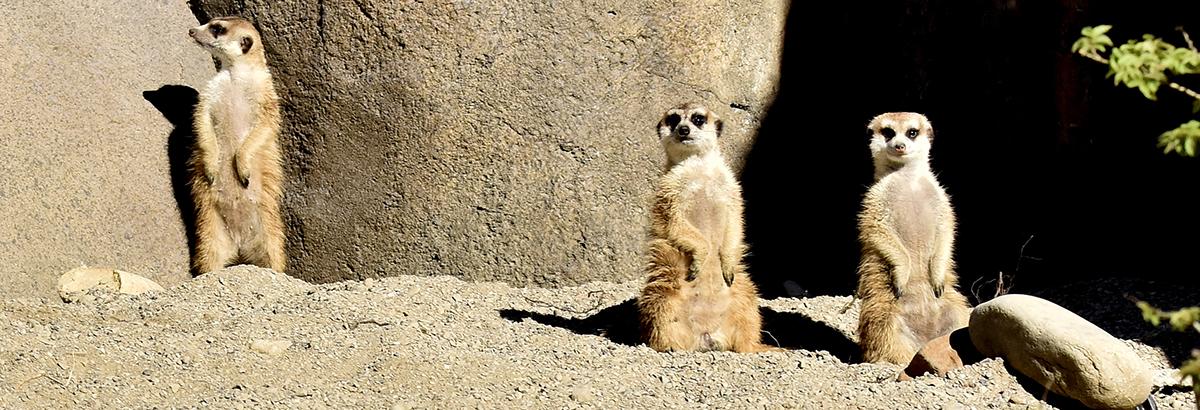 meerkat header