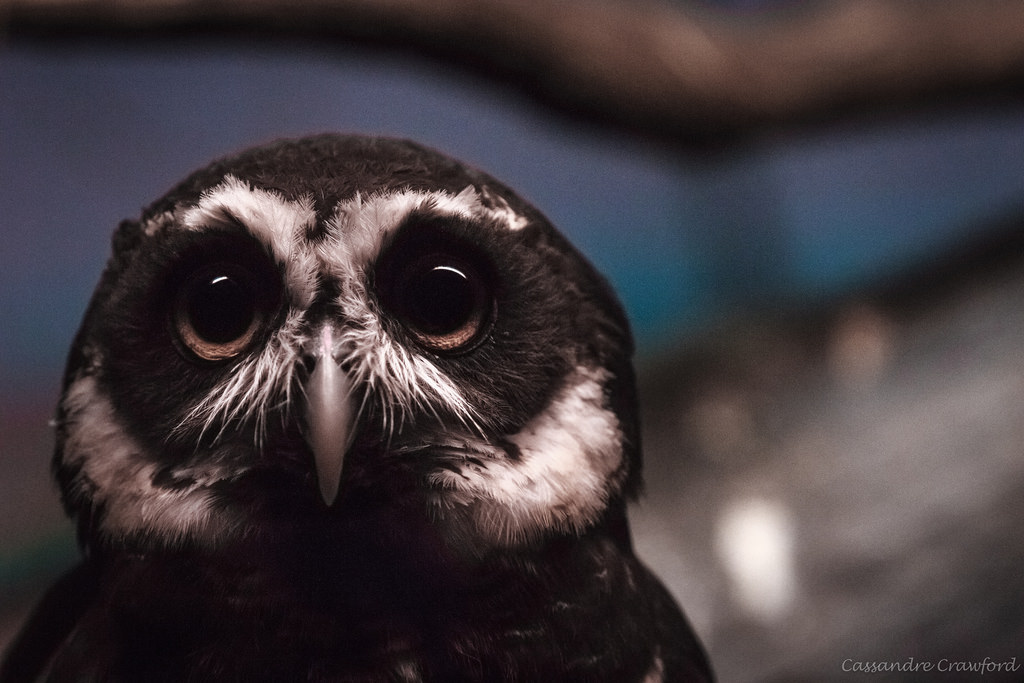 spec owl