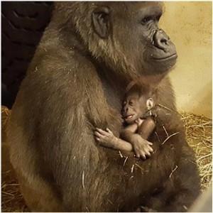 Cincinnati Zoo Celebrates 50th Gorilla Birth Cincinnati