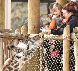 2015-04-08 Peacock, Giraffes eating, Lion Cubs, Gladys 409