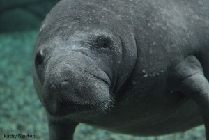 Florida manatee (Photo: Kathy Newton)