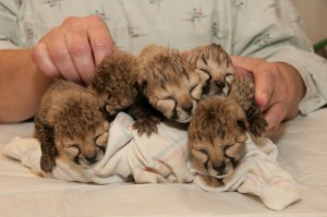 Five cheetah cubs born March 8 at the Cincinnati Zoo & Botanical Garden email