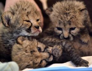 3 cubs