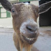store_0060_goats2