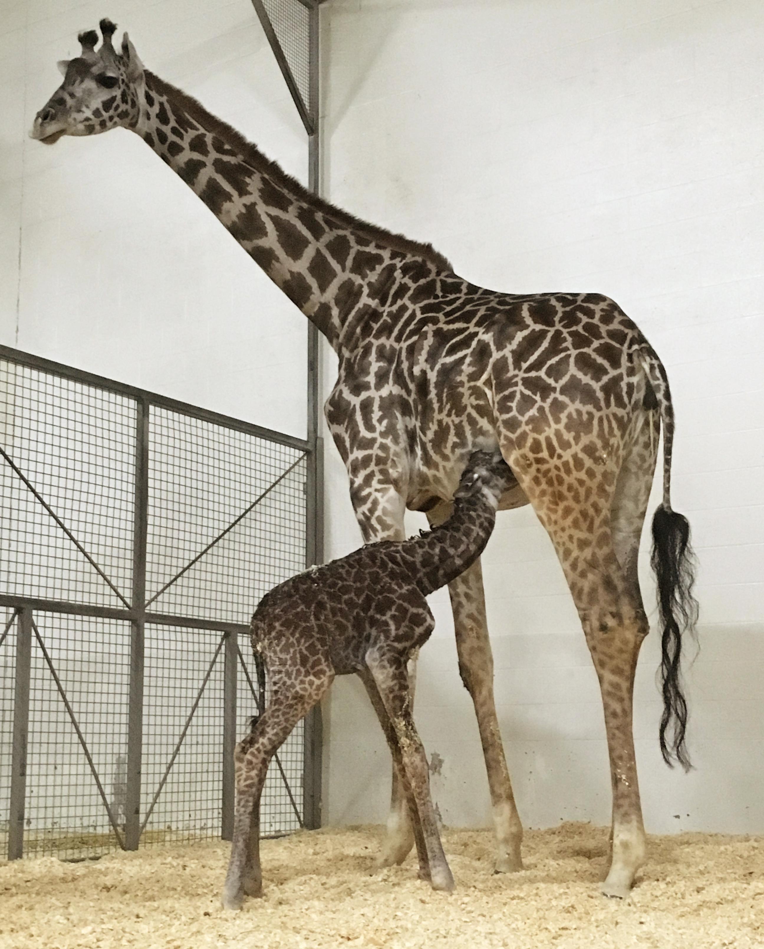 It S Raining Giraffes At The Cincinnati Zoo The