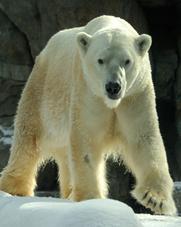 polarb-bear2