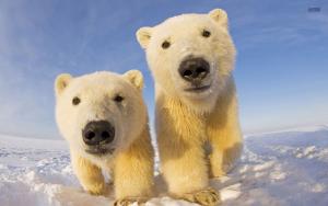 polarb-bear3