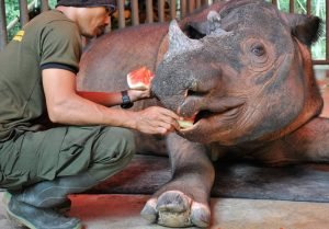 Harapan getting watermelon from SRS keeper. He is healthy and will soon get the opportunity to breed.