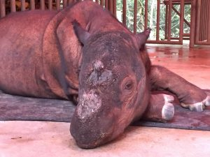 Harapan relaxing. He has a huge forest area to explore but comes into his large pen area when keepers are caring for him.