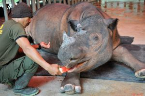 Harapan gets fruit from keeper after procedure.