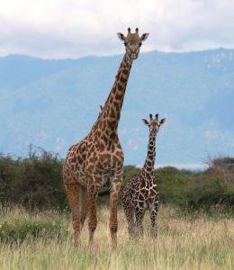 Maasai giraffes (Photo: Dr. Derek Lee, Wild Nature Institute)