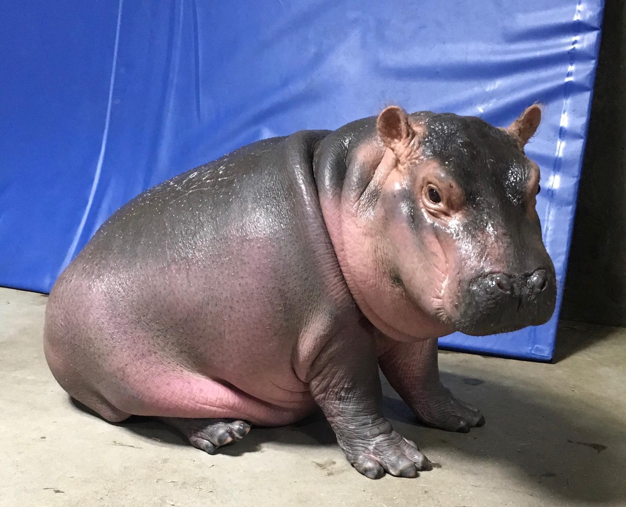 Hippo Baby Fiona Updates The Cincinnati Zoo Amp Botanical