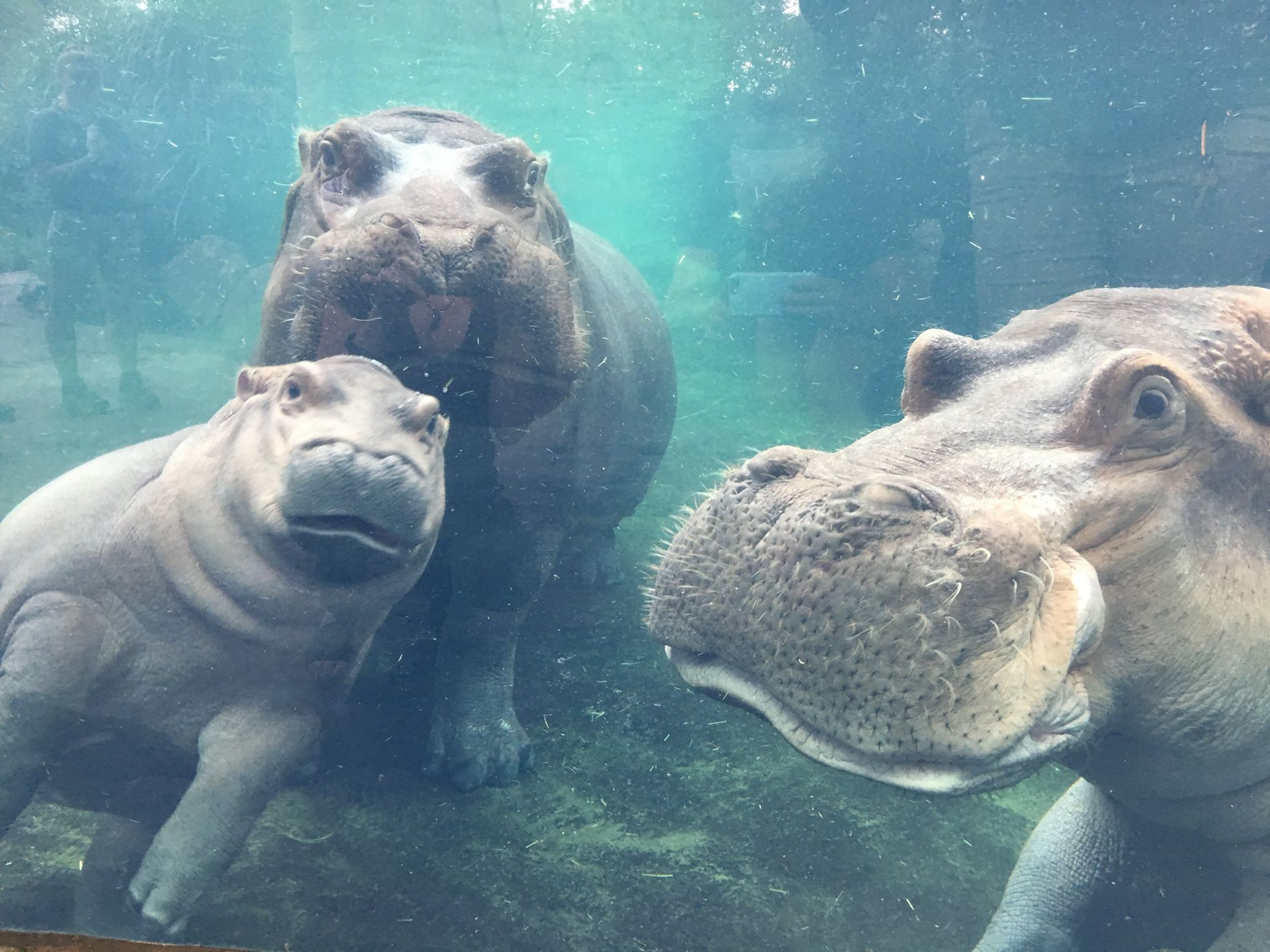 Long Awaited Hippo Family Reunion At The Cincinnati Zoo