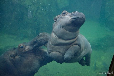 fiona was born on january 24 2017 she was 6 weeks premature follow her story here - Pictures Of Hippos
