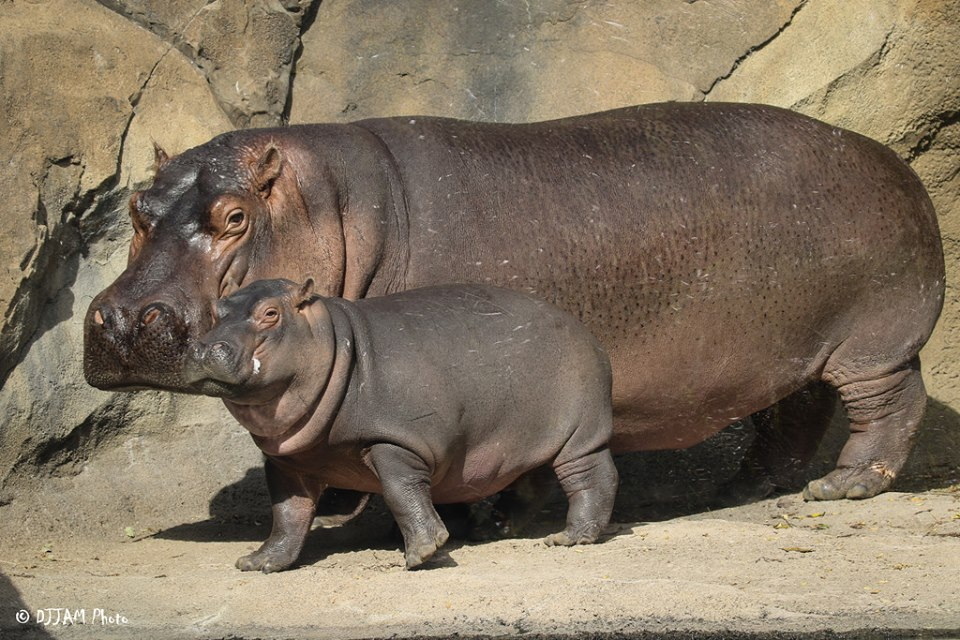Hippo Baby Fiona Updates Cincinnati Zoo Amp Botanical Garden