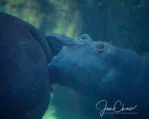 Hippos Have A Clear Membrane Covering Their Eyes Allowing Them To See When Underwater Similar Set Of Goggles