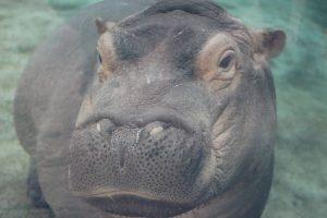 Hippo Baby Fiona Updates - Cincinnati Zoo & Botanical Garden®