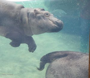 Image result for The hippopotamus has the capability to remain underwater for as long as five minutes.