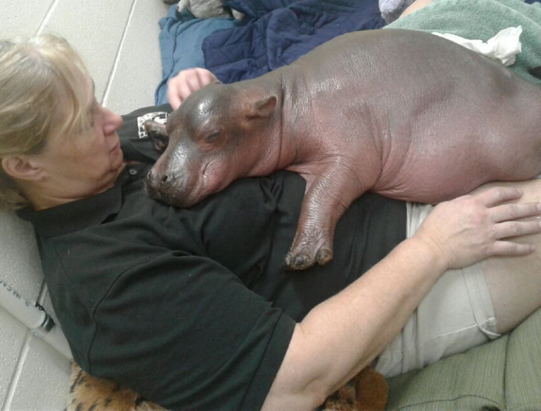 Hippo born 6 weeks prematurely takes first steps
