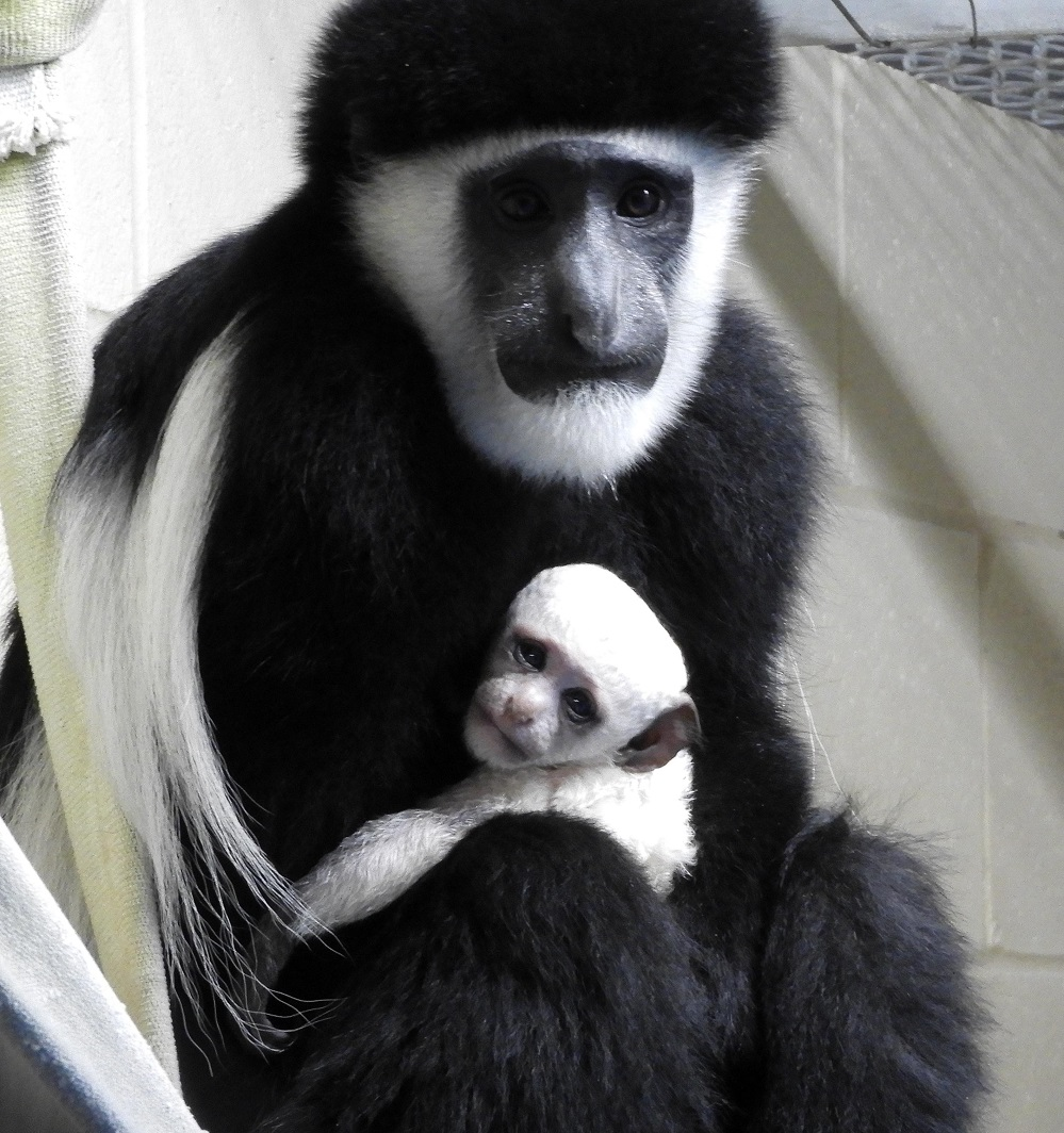 snowy white colobus monkey is cincinnati zoo s first baby of 2017