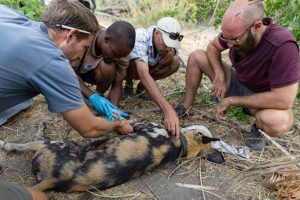 Examining an African painted dog (Photo: BPCT/ A. Ozgul)
