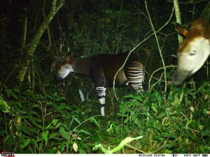 Mother okapi and calf caught on camera (Photo: Okapi Conservation Project)